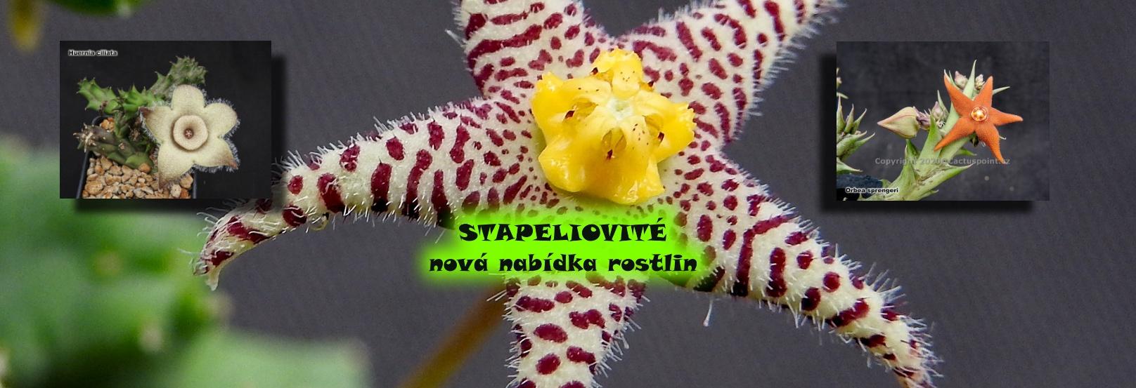 stapeliovit1